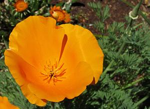 Eschscholzia californica california poppy in victoria garden eschscholzia californica orange flower mightylinksfo