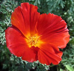 Eschscholzia Californica Red Flower